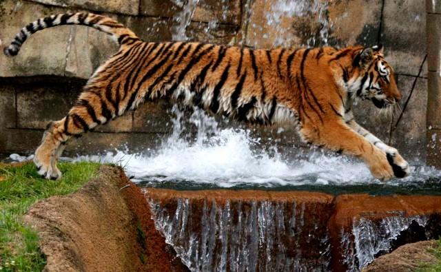 Tigern är minst lika illa ute som isbjörnen i gårdagens inlägg.