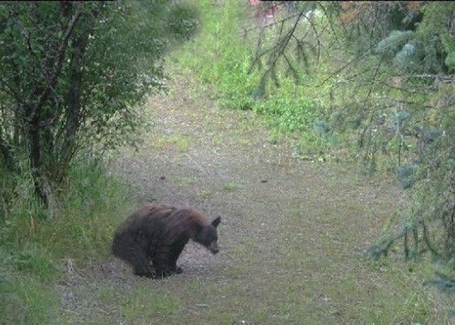 Vad gör björnen i skogen?