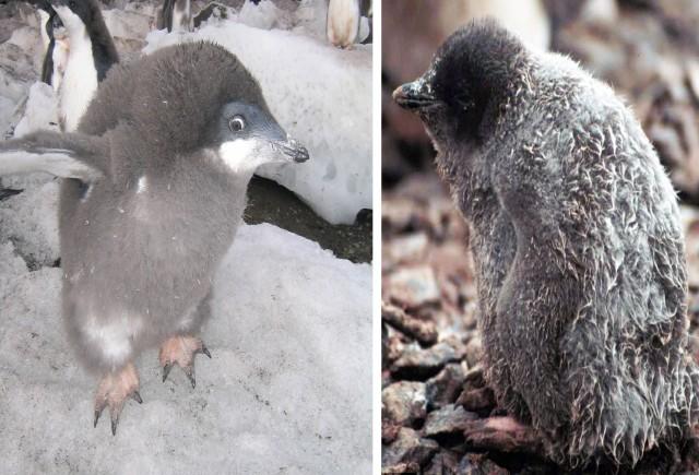 Torr och varm pingvinunge och en det regnat på och som nog kommer att