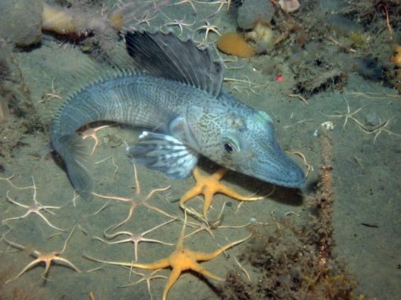 Cool krokodil-isfisk i Antarktis