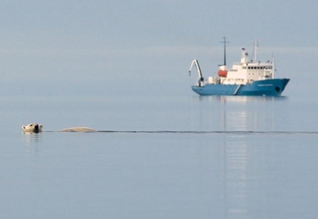 """En is-nalle simmar förbi """"vårat"""" fartyg Molchanov vid Svalbard"""
