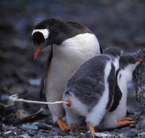 En Gentoo-pingvin står där han står och skiter också där han står