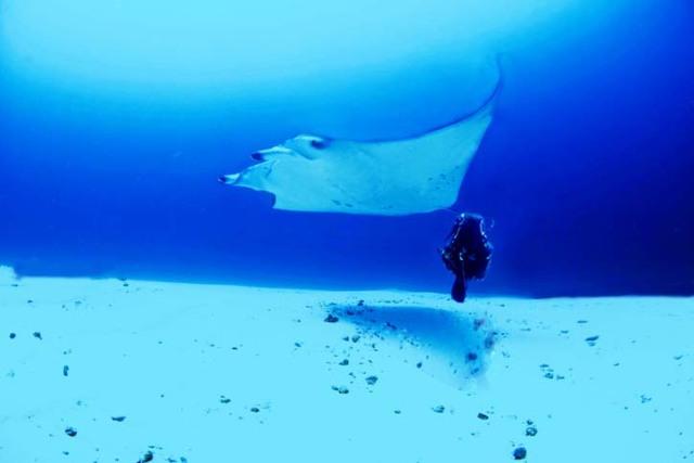 Manta på c:a 30 meters djup, Maldiverna