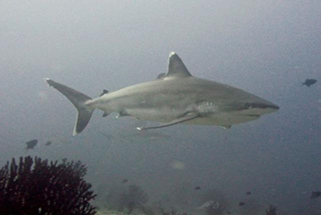Silver tip shark
